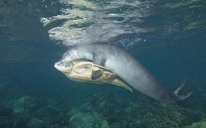 Ngoạn mục hải cẩu cứu giúp rùa biển gặp nạn