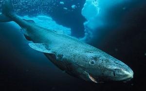 Cá mập Greenland phải trả giá đắt khủng khiếp để thọ 500 tuổi