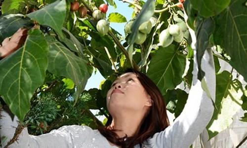 Ca chua sieu dat 1 trieu dong/kg trong duoc o Lam Dong