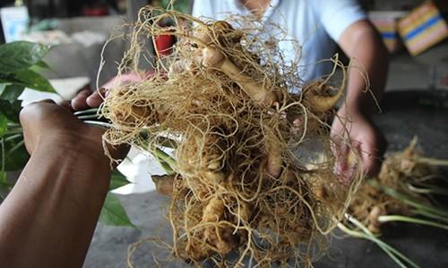 Doi tuong trom 500 goc sam Ngoc Linh la can bo bao ve rung
