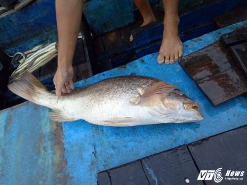 Cau duoc ca nang 7 kg nghi la ca su vang o Vung Tau-Hinh-2