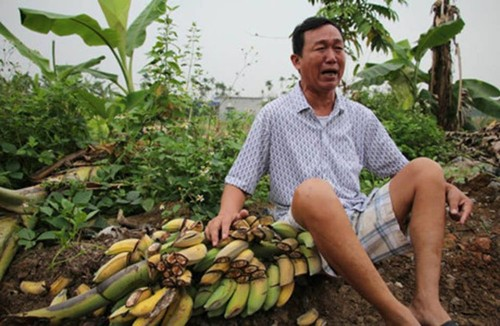 Noi tinh vu hon 2.000 cay chuoi bi chem cut trong dem o Hai Phong-Hinh-2