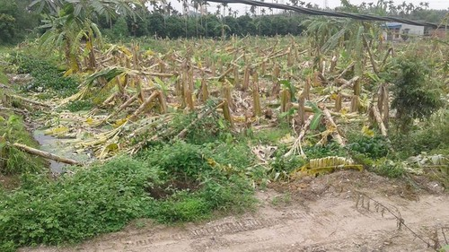 Noi tinh vu hon 2.000 cay chuoi bi chem cut trong dem o Hai Phong