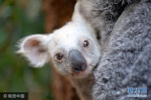 Can canh gau koala trang cuc hiem, khong phai mac benh bach tang-Hinh-2