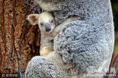 Can canh gau koala trang cuc hiem, khong phai mac benh bach tang-Hinh-3