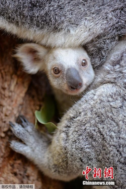 Can canh gau koala trang cuc hiem, khong phai mac benh bach tang-Hinh-4
