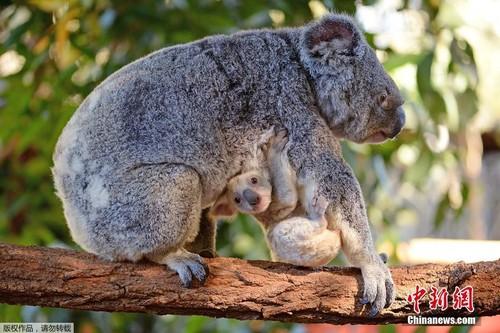 Can canh gau koala trang cuc hiem, khong phai mac benh bach tang-Hinh-5
