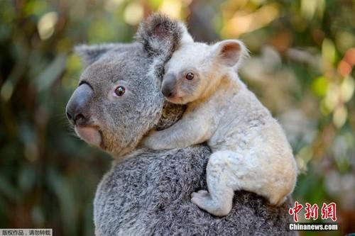 Can canh gau koala trang cuc hiem, khong phai mac benh bach tang
