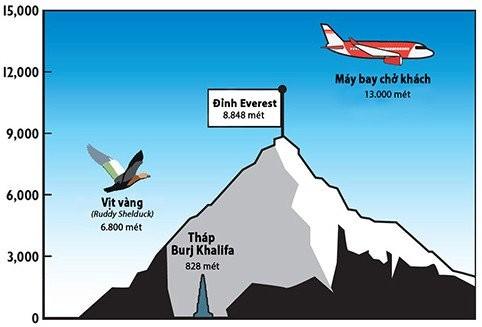 Ky thu loai vit vang bay vuot day Himalaya de sinh san