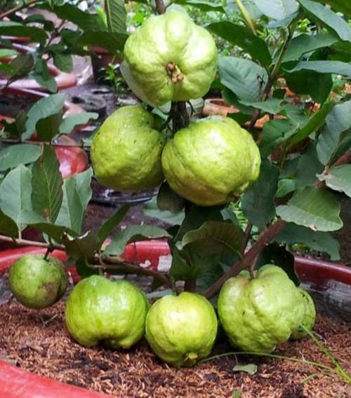10 loai cay an qua cuc hop trong chau bonsai-Hinh-10