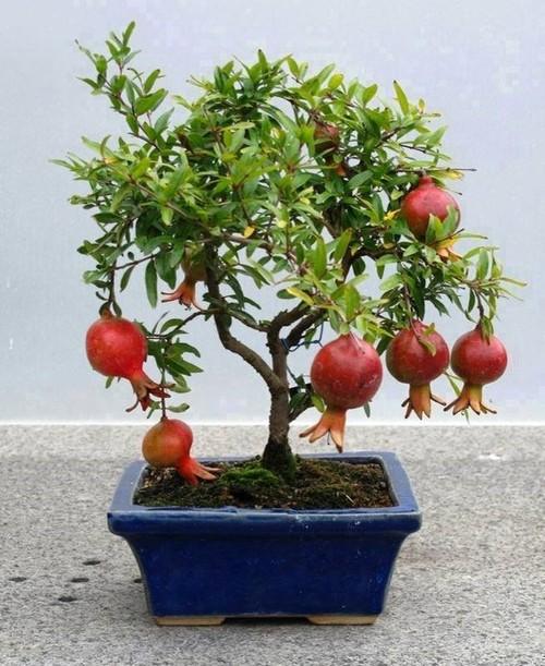 10 loai cay an qua cuc hop trong chau bonsai-Hinh-2