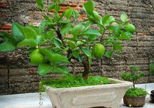 10 loai cay an qua cuc hop trong chau bonsai-Hinh-4