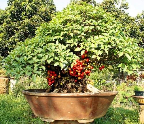 10 loai cay an qua cuc hop trong chau bonsai-Hinh-5