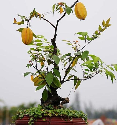 10 loai cay an qua cuc hop trong chau bonsai-Hinh-9