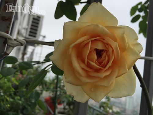 Ban cong von ven 3m2 trong 100 goc hoa hong dep quen sau-Hinh-15