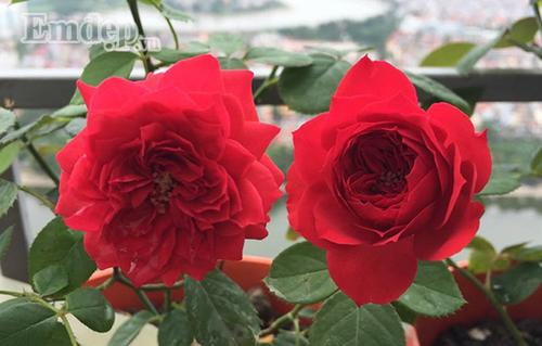 Ban cong von ven 3m2 trong 100 goc hoa hong dep quen sau-Hinh-7