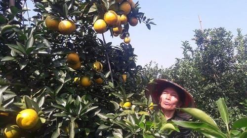 Long vang - giong cam De nhat thu phu cam Hoa Binh ngon ra sao?
