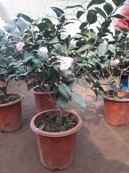 5 loại hoa đẹp lại dễ sống nên trồng ngay để kịp chơi Tết - Ảnh 2.