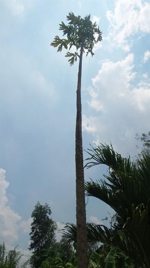 Choang vang cay du du cao gan 10m, cho hang ngan trai-Hinh-2