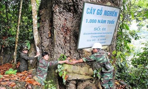 """Mo vang"" lo thien: Canh rung nghien, trai co thu nghin nam tuoi-Hinh-2"