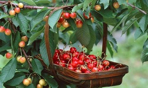 Hoc cach trong cherry sai triu tai nha, thu hoach ca tram qua-Hinh-3