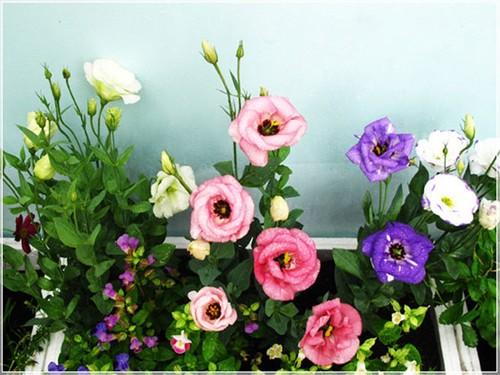 Nhung loai hoa cau tai nhat dinh phai co trong nha ngay Tet-Hinh-8
