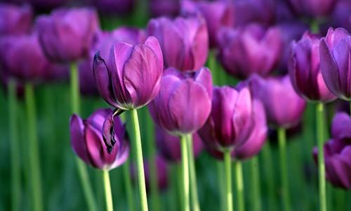 Y nghia hoa tulip - Tinh yeu hoan hao