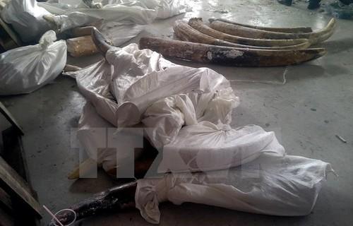 TP.HCM phat hien 529 kg nga voi giau tinh vi trong cac khuc go