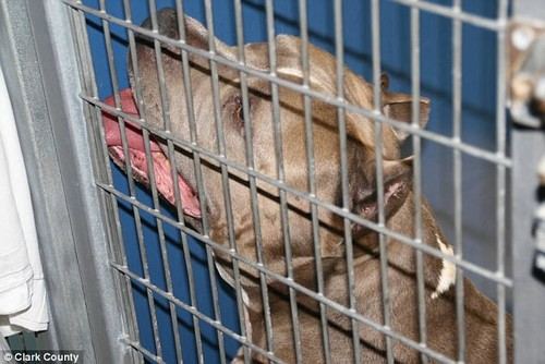 My: Cho pit bull nha nuoi vo den chet be gai 6 thang-Hinh-2