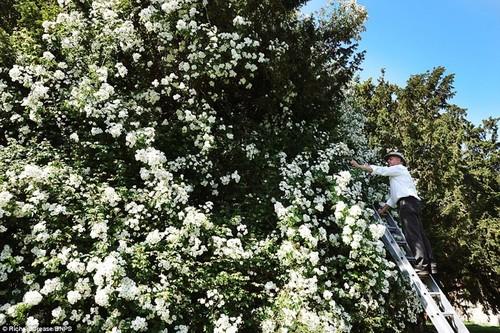 Dep ngo ngang cay hoa hong khong lo hon tram tuoi-Hinh-3