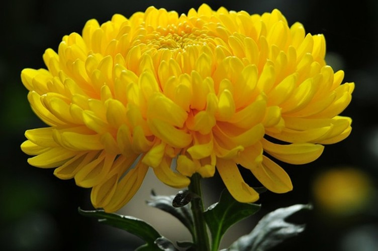 Nhung loai hoa ngay Tet nen chung trong nha de don tai loc-Hinh-4