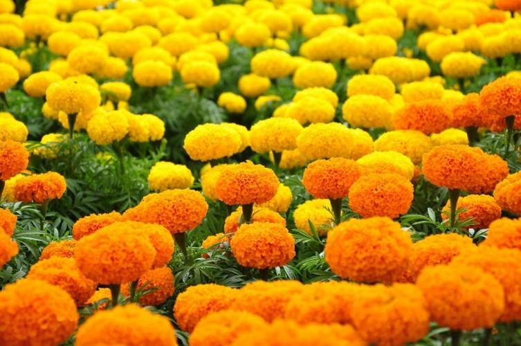 Nhung loai hoa ngay Tet nen chung trong nha de don tai loc-Hinh-7