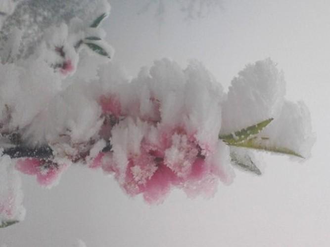 Chiem nguong hoa dao ngam tuyet o mien Tay xu Nghe-Hinh-2