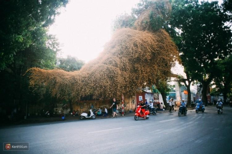 Bao mang cay hoa giay bong chuyen mau vang o Ha Noi-Hinh-4