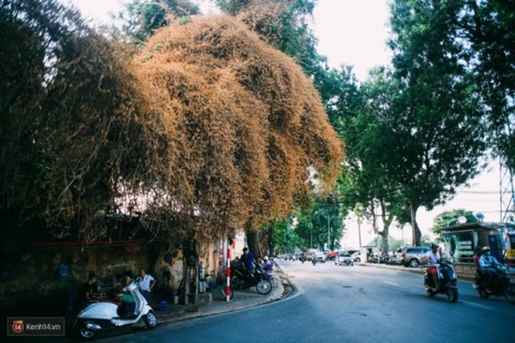 Bao mang cay hoa giay bong chuyen mau vang o Ha Noi-Hinh-5