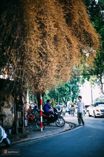 Bao mang cay hoa giay bong chuyen mau vang o Ha Noi-Hinh-6