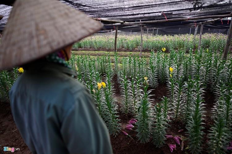 Anh: Hoa ly rung do goc sat Tet, nong dan thiet hai nang ne-Hinh-5
