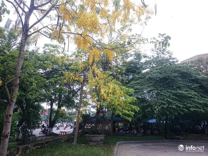 Anh: Hoa muong hoang yen vang ruc Co do Hue giua troi he-Hinh-13
