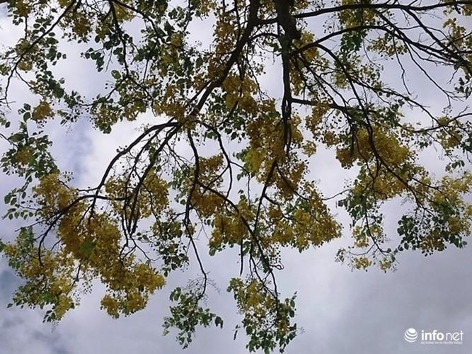 Anh: Hoa muong hoang yen vang ruc Co do Hue giua troi he-Hinh-2