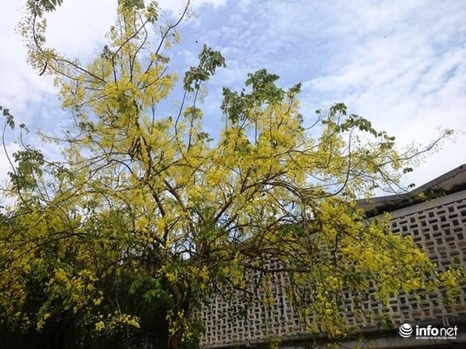 Anh: Hoa muong hoang yen vang ruc Co do Hue giua troi he-Hinh-5