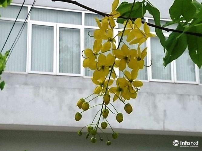 Anh: Hoa muong hoang yen vang ruc Co do Hue giua troi he-Hinh-9