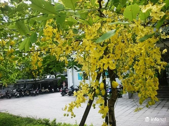 Anh: Hoa muong hoang yen vang ruc Co do Hue giua troi he