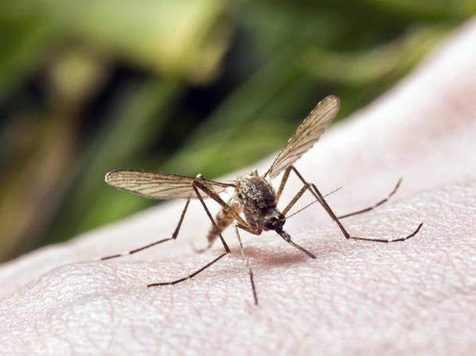 Chuyen gia bat mi cach ngan ngua sot chikungunya-Hinh-3