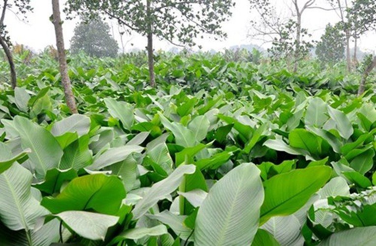 Su that ly thu ve la dong goi banh chung ngay Tet-Hinh-5