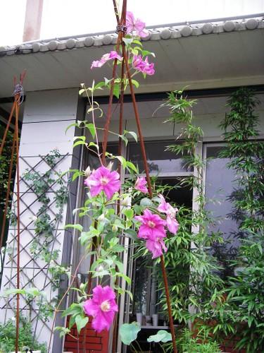 Su that ve loai hoa dep mang ten ong lao gay sot-Hinh-8
