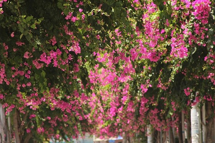 Lac vao cung duong hoa giay dep nhat Nha Trang-Hinh-2
