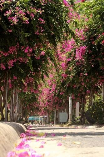 Lac vao cung duong hoa giay dep nhat Nha Trang-Hinh-3