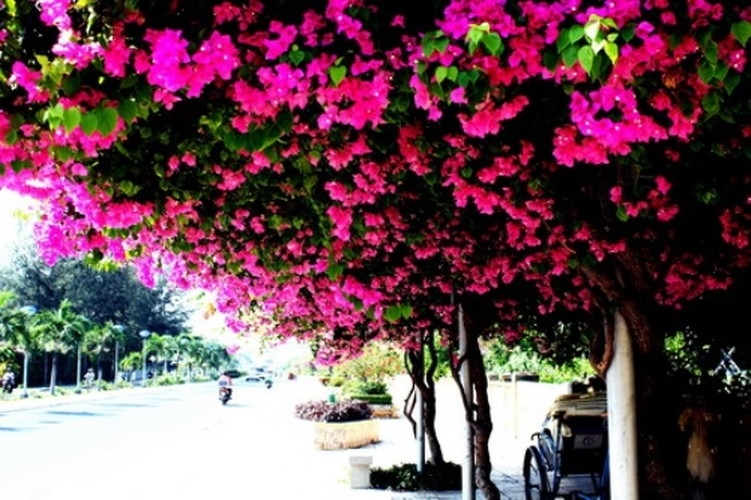 Lac vao cung duong hoa giay dep nhat Nha Trang-Hinh-4