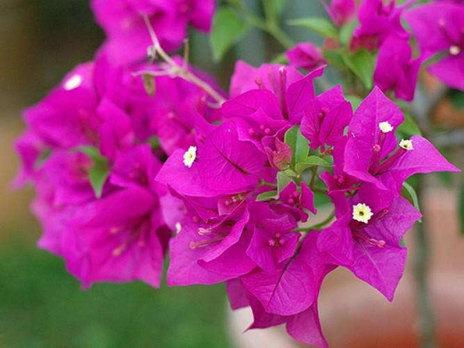 Lac vao cung duong hoa giay dep nhat Nha Trang-Hinh-5