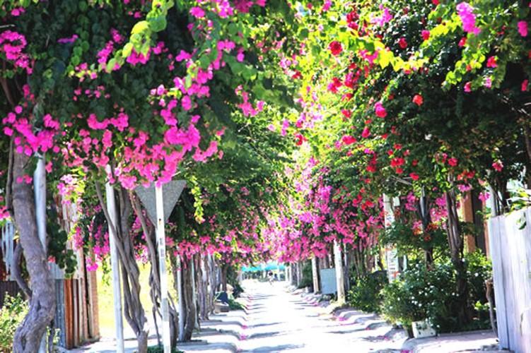 Lac vao cung duong hoa giay dep nhat Nha Trang